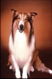 Chi era Lassie, il cane della nota serie TV